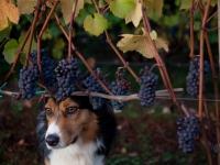 2011_1102_grapes-79-2