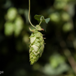 The Source of Hoppiness
